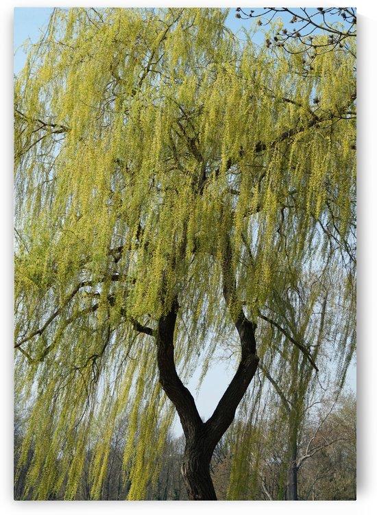 weeping willow by Babetts Bildergalerie