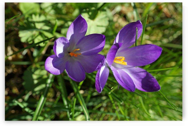 two  purple crocuses by Babetts Bildergalerie