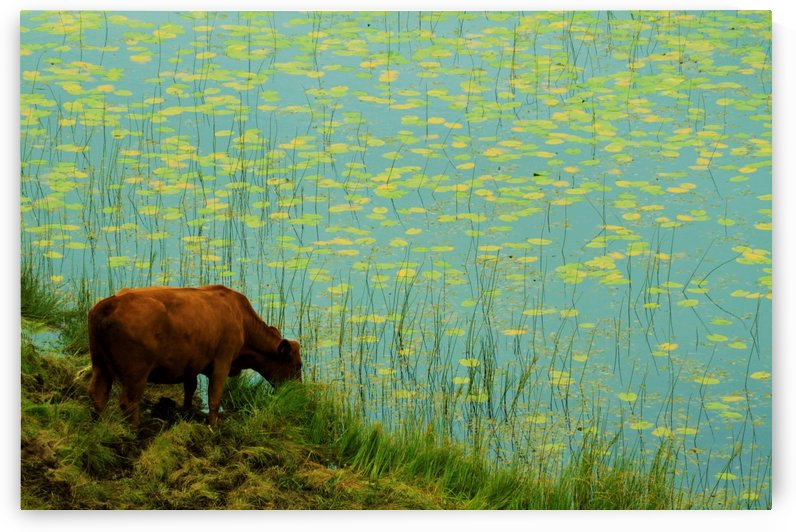 Lilly pond drinking by Andy Jamieson