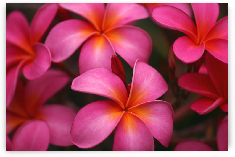 Hawaii, Maui, Pink Plumerias. by PacificStock