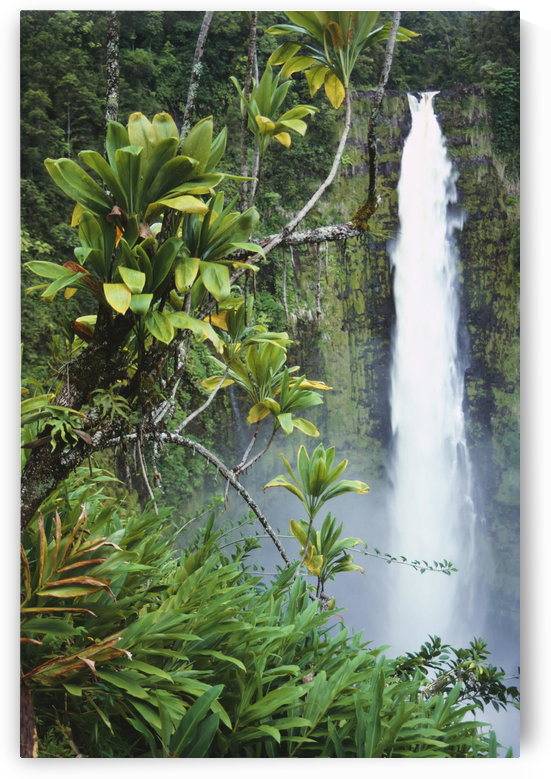 Hawaii, Big Island, Akaka Falls Surounded By Ti-Leafs And Greenery. by PacificStock