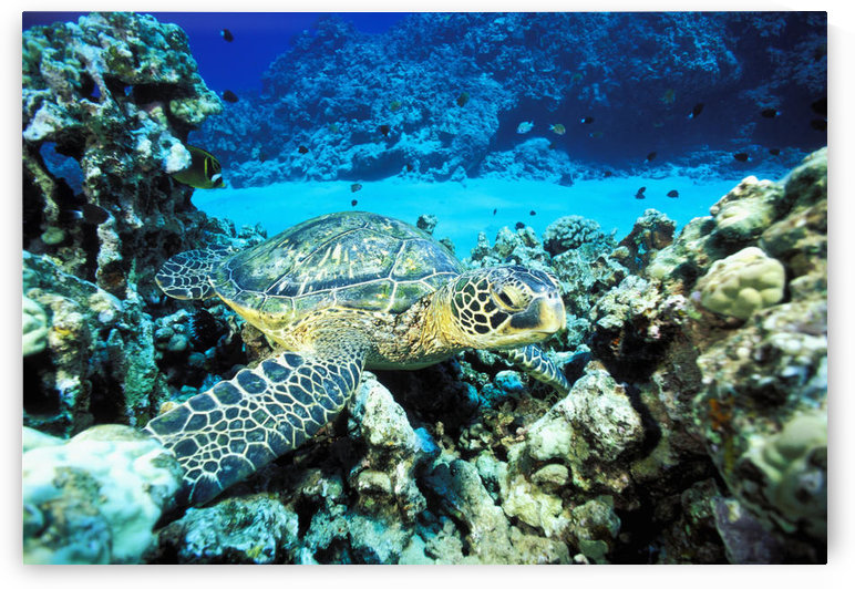 Hawaii, Green Sea Turtle (Chelonia Mydas) On Reef With Tropical Fish by PacificStock