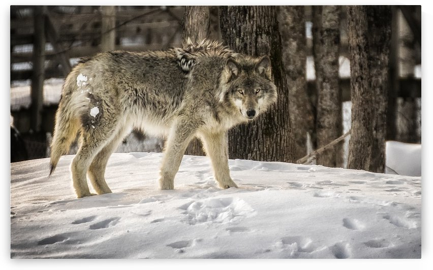 Hungry Like the Wolf by Ron Harris