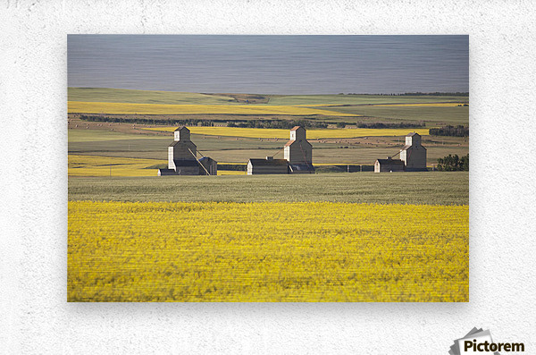 Three Old Wooden Grain Elevators At Sunrise With Flowering Canola Fields In The Foreground And Background; Mosleigh, Alberta, Canada  Metal print