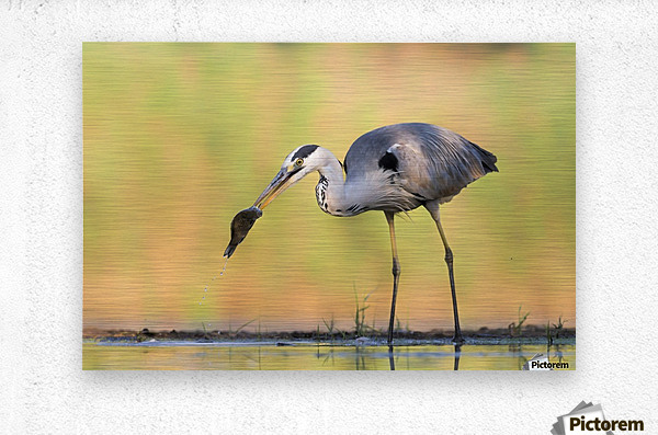Morning Catch  Metal print