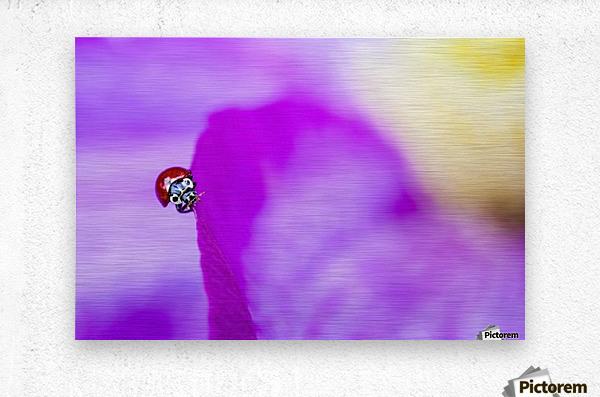 A ladybug on a pink clematis;British columbia canada  Metal print