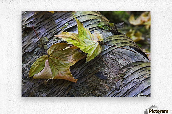 Maple leaves in autumn as they lay across a rotting log in a forest;British columbia canada  Metal print