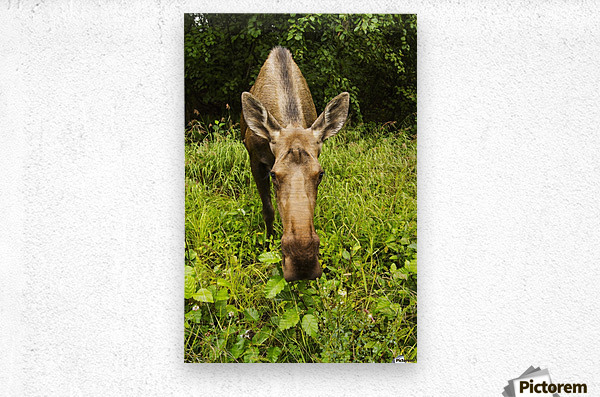 Cow moose (alces alces), close up with a wide angle lense, south-central Alaska; Alaska, United States of America  Metal print