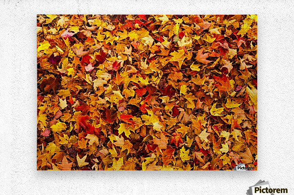 Autumn leaves on the ground; Iron Hill, Quebec, Canada  Metal print