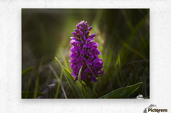 Close up of a pink hyacinth; South Shields, Tyne and Wear, England  Metal print