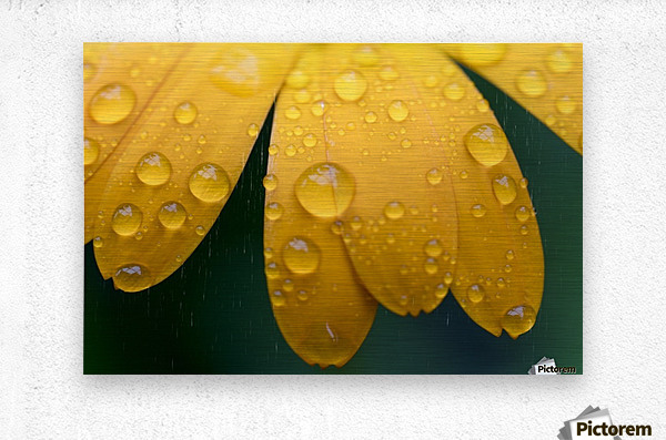 Close up of water droplets on yellow flower petals; South Shields, Tyne and Wear, England  Metal print