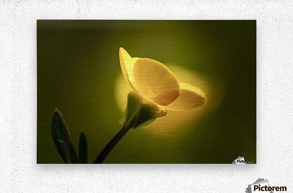 A yellow flower glowing in sunlight; South Shields, Tyne and Wear, England  Metal print