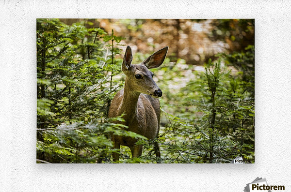 Mule deer (Odocoileus hemionus), Sequoia National Park; California, United States of America  Metal print