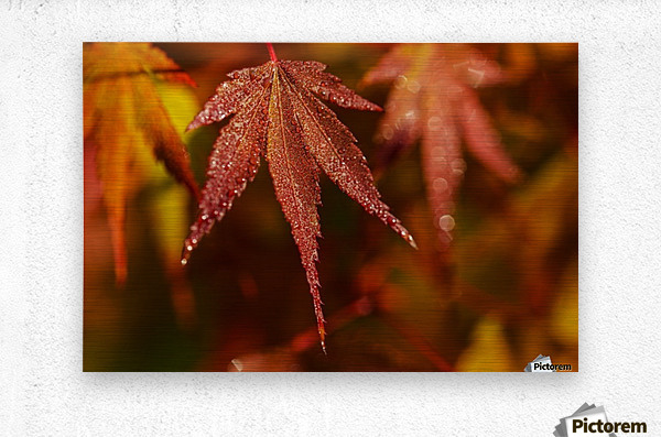 Japanese Maple (Acer palmatum) turning red in the autumn; Astoria, Oregon, United States of America  Metal print