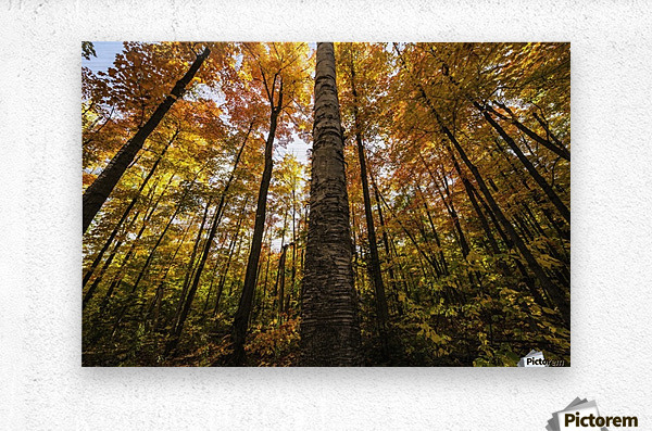 Looking up at the colourful canopy of leaves of Algonquin Park; Ontario, Canada  Metal print