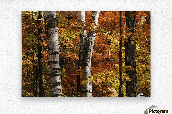 The colourful leaves and birch tree trunks in Algonquin Park; Ontario, Canada  Metal print