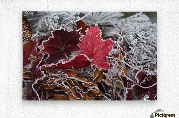 Hoarfrost covers holiday decorations on a wreath, Christmas season; Minnesota, United States of America  Metal print