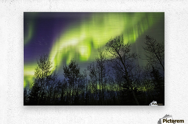 Aurora borealis over silhouetted trees; Alaska, United States of America  Metal print