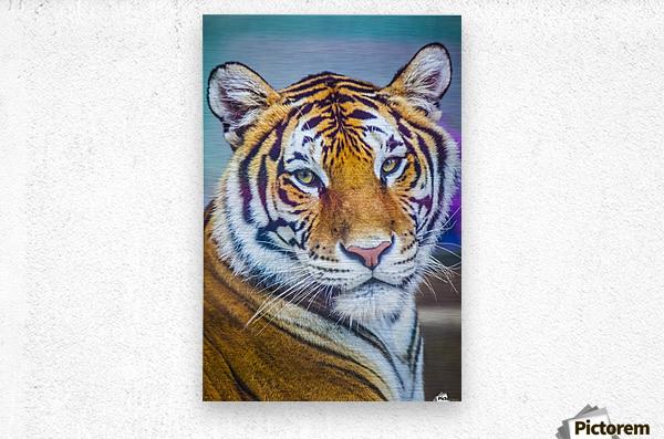 Portrait of Bengal Tiger (panthera tigris tigris) endangered species, captive; Chippewa Falls, Wisconsin, United States of America  Metal print
