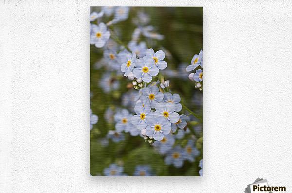 Close Up Of Forget Me Not, Alaska's State Flower, Girdwood, Southcentral Alaska, Summer  Metal print