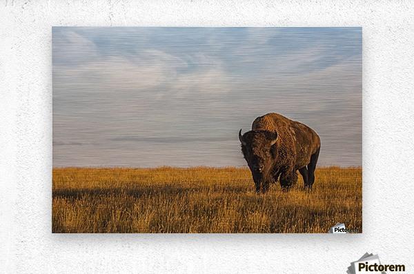 Bison (bison bison), Grasslands National Park; Saskatchewan, Canada  Metal print
