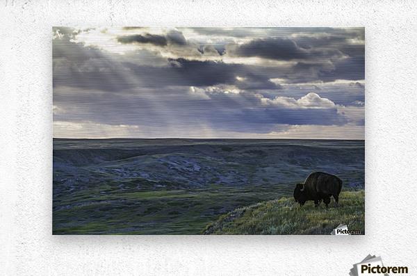 A lone bison (bison bison) grazes on the buttes of Grasslands National Park; Saskatchewan, Canada  Metal print