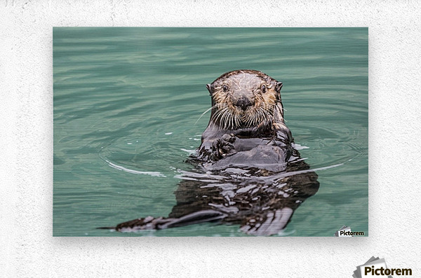 Close-up of a Sea Otter (Enhydra lutris) floating on it's back, looking towards the camera, South-central Alaska; Seward, Alaska, United States of America  Metal print