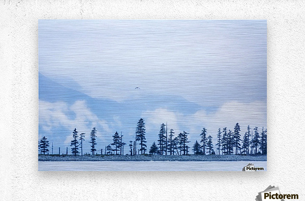 A bird flies above trees under a cloudy sky and fog on the coast of Resurrection Bay, South-central Alaska; Seward, Alaska, United States of America  Metal print