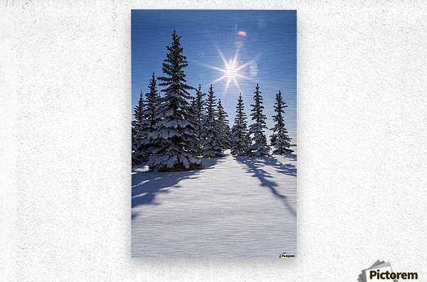 Snow covered evergreen trees on a snow covered hillside with blue sky and sun burst; Calgary, Alberta, Canada  Metal print