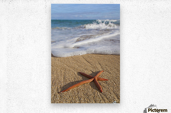 A red live Finger Starfish, also known as Linckia Sea Star, found along a sandy beach with white ocean tide washing up; Honolulu, Oahu, Hawaii, United States of America  Metal print