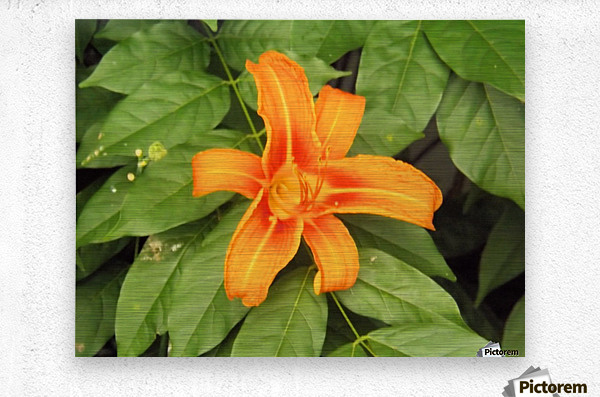 Orange Lilly 1  Impression metal