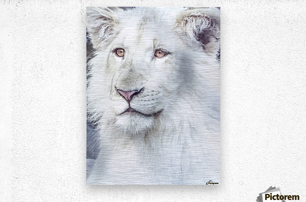 Juvenile White Lion   Metal print