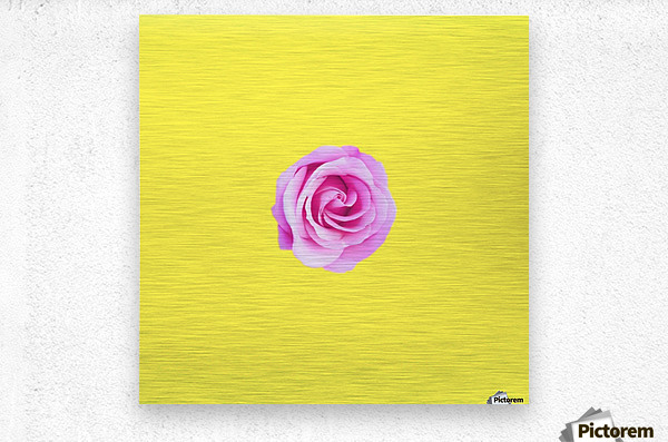 closeup pink rose with yellow background  Metal print