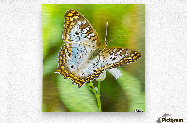 Psychedelic White Peacock Butterfly  Metal print