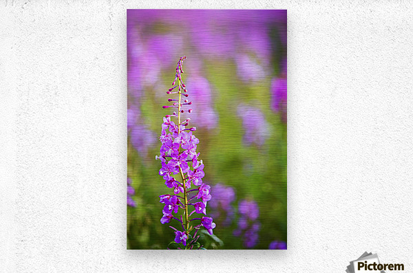 Fireweed Detail Near Anchor Point On The Kenai Peninsula In Southcentral Alaska.  Metal print