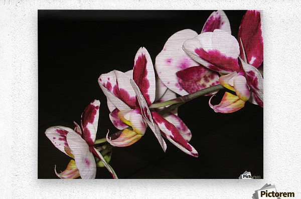 Sexy Orchid  Metal print