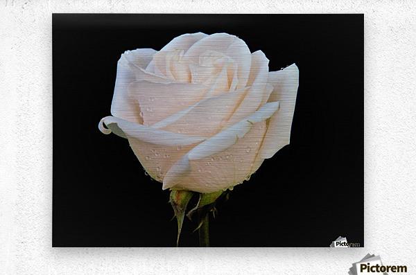Calming rose  Metal print