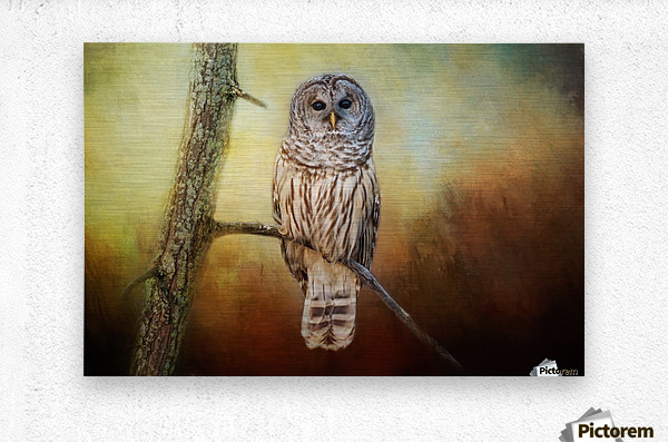Barred Owl at sunrise with Textures  Metal print