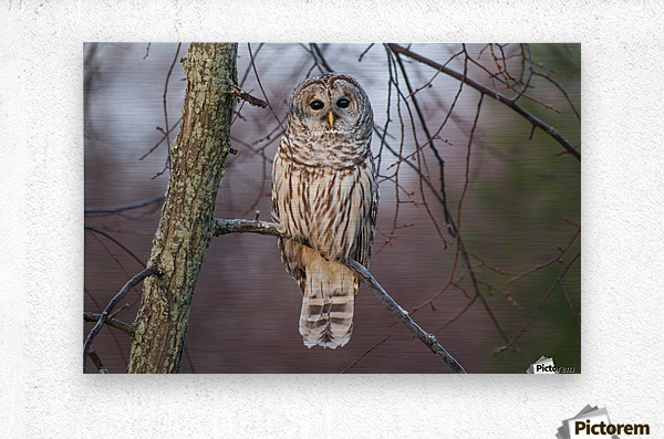 Barred Owl at sunrise.  Metal print
