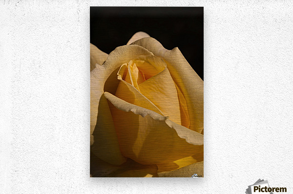 Yellow Rose Close up Single Black Background A010601_1406644  Metal print