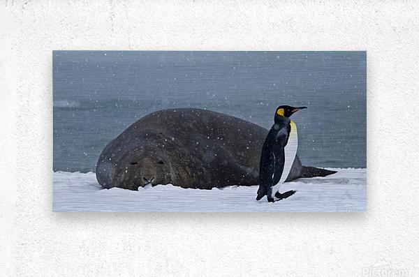 King Penguin walking nest to Elephant Seal  Metal print