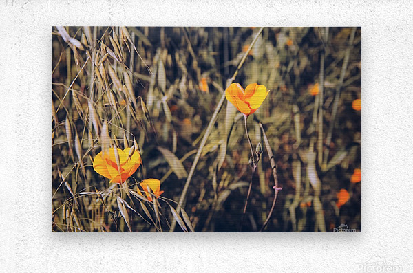 yellow poppy flowers with green leaves texture background  Metal print