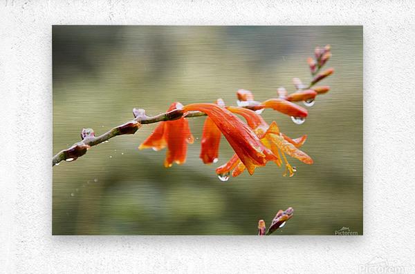 Orange Blooms with droplets  Metal print