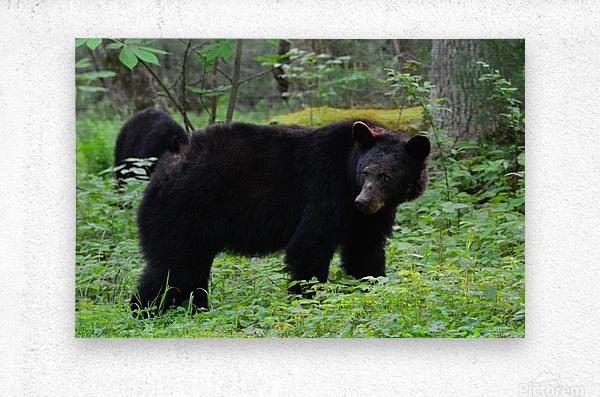 3299-Black Bear  Metal print