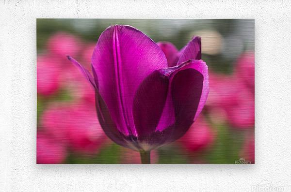 Violet - Violette  Metal print