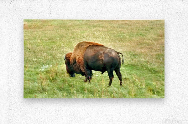 Lone Buffalo Custer State Park  Metal print