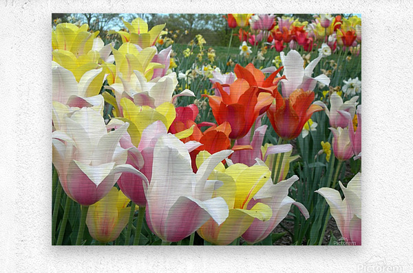 Beautiful Tulip Garden Photograph  Metal print