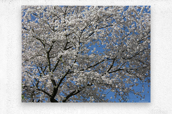 White Spring Blossoms Photograph  Metal print