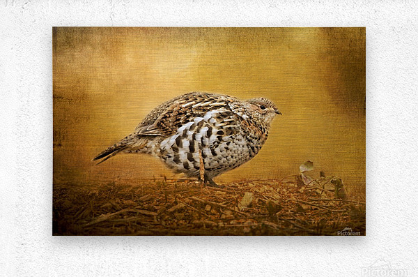 Female Ruffed Grouse  Metal print