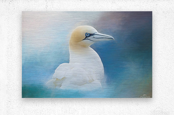 Northern Gannet ver2  Metal print